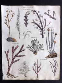 Goldsmith & Shaw 1817 Hand Col Print. Corallines Coral. Marine Life